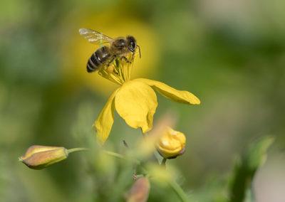 Biene-in-den-Kräutergärten