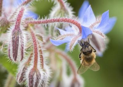 Biene an Borretsch
